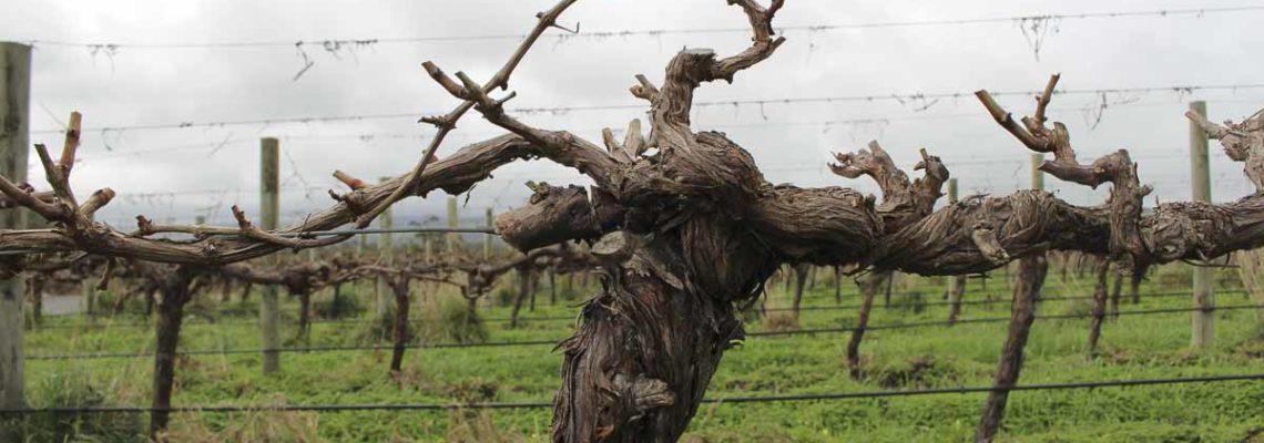 麥克拉倫谷未受葡萄根瘤蚜的感染,保有很多年齡較長的葡萄籐。