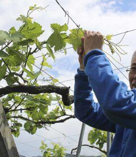 原茂園莊主及釀酒師Shintaro Furuya先生為我示範如何對棚架栽培的葡萄進行整枝。