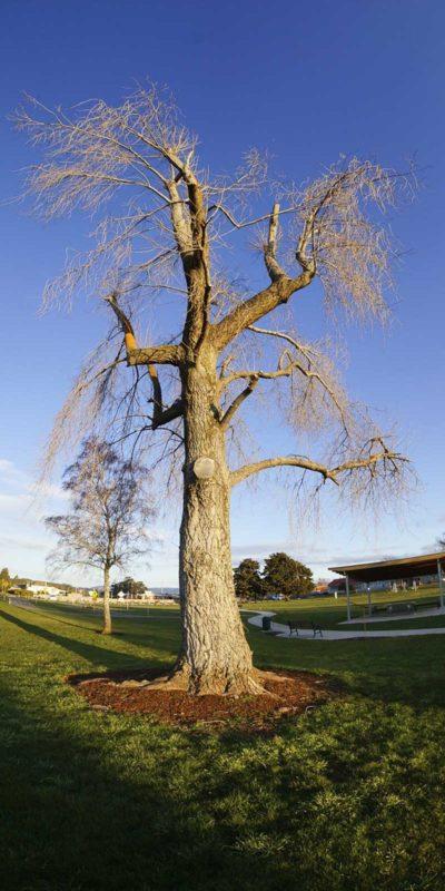 塔省到處可見森然聳立的大樹。