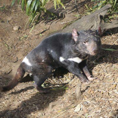 野生動物公園中可見塔省獨有的袋獾(Tasmanian Devil)。