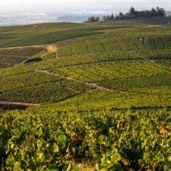 薄酒萊產區位於法國東部,由布爾崗馬岡區以南伸延至里昂以北,覆蓋約16,000公頃的葡萄園,展現用以釀造紅酒的佳美黑葡萄(Gamay Noir)-黑皮諾(Pinot Noir)和白高維斯(Gouais Blanc)雜交而成的品種-的最美一面,還有釀造白酒的霞多麗(Chardonnay)。(圖片提供: Inter Beaujolais / Etienne Ramousse)