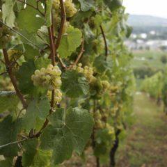 Schloss Johannisberg葡萄藤掛滿成熟的Riesling葡萄,山丘頂可俯瞰整個Geisenheim市。