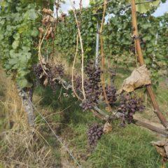 今回遊走Rheingau多個各個葡萄園,也察覺到本年夏季熱浪的影響,不乏有葡萄被曬乾。