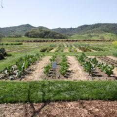 新鮮的蔬菜來他們的田