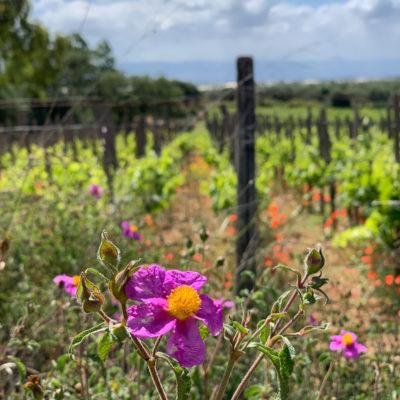 西西里島上常見的岩玫瑰Cistus,Daino的玫瑰酒以此命名