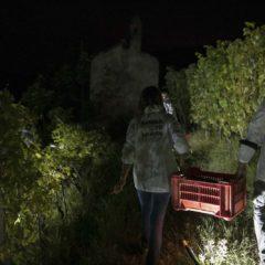 酒莊於2020年10⽉1⽇晚間對Terlo園進⾏夜間採收